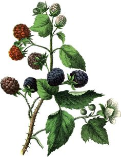 This is a wonderful Vintage Botanical Blackberries Image! Featured here is a lovely picture of a branch of Blackberries along with a white Blackberry Flower! Botanical Tattoo, Botanical Drawings, Botanical Prints, Vintage Drawing, Vintage Art, Craft Font, Fruits Images, Summer Berries, Wonderful Flowers