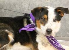 LATOYA has 15 Day(s) Left to Live! Latoya Breed: Collie (mix breed) Age: Adult Gender: Female Size: Medium, Shelter Information: Greenville County Animal Care Services 328C Furman Hall Road Greenville, SC Shelter dog ID: 19088065 Contacts: Phone: na Name: Lauren email: mailto:petrescue@...  About Latoya: ANIMAL ID: 19088065 BREED: Collie/heeler mix SEX: female EST. AGE: 4 yr Est Weight: 31.8 lbs HEALTH: appears healthy- hw neg TEMPERAMENT: dog friendly- cat friendly-people friendly....