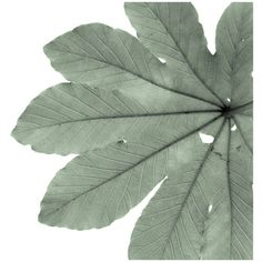 A elegant mint green tinted monochrome photograph of a leaf of a tree. The blade, veins, and petiole help to create a strong and yet simple image. It oozes the feelings of being outdoors and surrounded by nature. It evokes calmness and serenity. Home Wall Art, Wall Art Decor, Wall Art Prints, Fine Art Prints, Room Decor, Wall Collage, Green Home Decor, Black White Art, White Wood