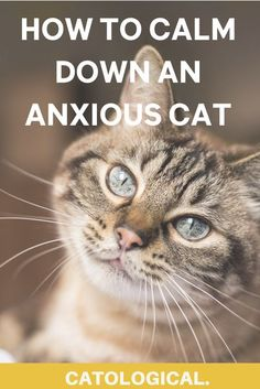 Keep your feline friend calm in even the most sensory ridden situations with these easy tips! #CatCare #CatTips #CatAnxiety #CatFacts #KittenCare #CatCareTips #CatHealth First Time Cat Owner, Cat Health Care, Cat Ages, Kitten Care, Angry Cat, Cat Care Tips, Cute Kitten Gif, Cat Behavior, Couple