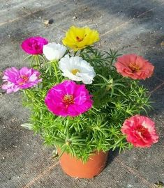 Portulaca Flowers, Ragdoll Cat Colors, Landscape Design, Garden Design, Wind Rises, Ocean Master, Ice Plant, Bottle Garden, Cat Aesthetic