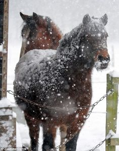 Horses with a coating of snow in Horsham, West Sussex, captured in this pictured by Jasmine Curtis_January 2013
