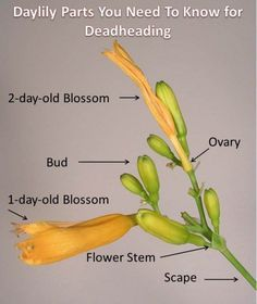 Parts of the daylily. Without deadheading, re-blooming daylily plants put their energies into producing seed instead of blossoms, You will find that the withered petals of two- and three-day-old spent blossoms come away more easily than those of one-day-old spent blossoms. In fact, when touched, the older faded petals almost fall away by themselves, but the ovary is left behind, still attached to the flower stem. The ovary must be removed, by snapping, pinching, or cutting