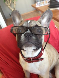 """""""Jeesh Mom, how do you see with these things!"""", Funny French Bulldog."""