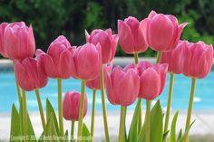 Images > Tulips Flowers > Red , yellow , pink tulips Red Tulips Tulips flowers Yellow Tulips- Yellow tulips at garden Pink Tulips flowers P. Pink Tulips, Tulips Flowers, Spring Flowers, Pretty In Pink, Beautiful Flowers, Pink Carnations, Pink Roses, Tulips Garden, Gardenias