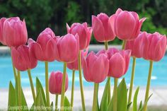 I love pink tulips!