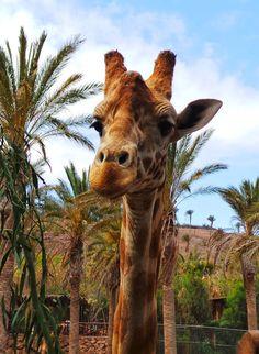 Canary Islands Photography: #Jirafa #Fauna  #Animal #naturaleza #Fuerteventura...
