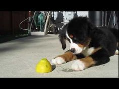 Bernese Mountain Dog Puppy vs. Lemon. The Most Adorable Puppy!