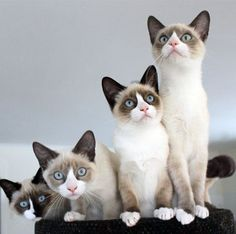 The Snowshoe cat is so named because of their white feet and upside down white v-shaped muzzles. They are a breed of Siamese and usually have blue eyes. Their markings depend on a combination of recessive genes, which makes them a rather rare breed.