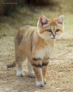 The sand cat - Felis margarita Kittens Cutest, Cats And Kittens, Cute Cats, Animals And Pets, Funny Animals, Cute Animals, Beautiful Cats, Animals Beautiful, Felis Margarita