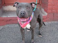 SAFE --- URGENT - Brooklyn Center    PRECIOUS - A0993958   FEMALE, GRAY / WHITE, PIT BULL MIX, 1 yr  OWNER SUR - EVALUATE, NO HOLD Reason ALLERGIES   Intake condition NONE Intake Date 03/14/2014, From NY 11206, DueOut Date 03/14/2014  https://www.facebook.com/photo.php?fbid=772909149388633&set=a.617941078218775.1073741869.152876678058553&type=3&theater