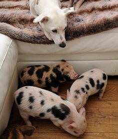 Teacup pigs and a doggy make the most unlikely of friends. See more on PawNation: http://aol.it/1guWDr4 #pawnation #teacuppigs #dogs