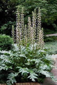 Posts about Acanthus 'Summer Beauty' written by Marian St. Tall Shrubs, Tall Plants, Shade Plants, Outdoor Plants, Outdoor Gardens, Herbaceous Border, Herbaceous Perennials, Flowers Perennials, Garden Shrubs