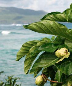 Garden Island of Organic Noni