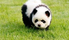 You think it's a little baby panda? But in all actuality, the Panda Dog is not a Panda at all. The cutest chinese panda dogs Panda Puppy, Niedlicher Panda, Cute Baby Animals, Funny Animals, Wild Animals, Panda Mignon, Top 10 Dog Breeds, Rare Dogs, Bear Cubs