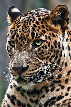 Leopard (Sri-Lanka).