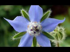 Borage(About this soundlisten); Borago officinalis), also known as a starflower, is an annual herb in the flowering plant family Boraginaceae. Blossom Garden, Blossom Flower, Flower Games, Homestead Gardens, Companion Planting, Permaculture, Beautiful Gardens, Homesteading, Planting Flowers