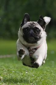 Fly like a puggie!