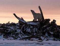 クジラの骨とホッキョクグマ(米国・アラスカ州)