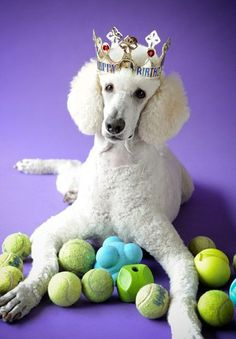 I rather have all of these balls instead of this stupid crown!! #Poodle