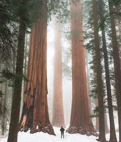 Sequoia National Park, located in the southern Sierra Nevada in The Giant Sequoias are the world's largest single trees and… Sierra Nevada, Sequoia National Park California, Sequoia California, Destinations, Amazing Nature, Land Scape, The Great Outdoors, Travel Photos, Cool Photos