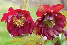Helleborus WINTER JEWELS™ 'Berry Swirl'