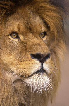 ~~Lion Portrait by Johan Elzenga~~