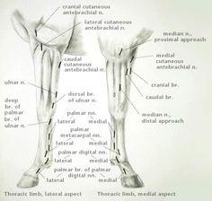 Lymphatic System Equine Vet School Pinterest Anatom 237 A