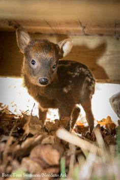 World's Smallest Deer Born in Sweden. Learn more and see a video of the little guy today, on ZooBorns: http://www.zooborns.com/zooborns/2013/05/worlds-smallest-deer-born-in-sweden.html