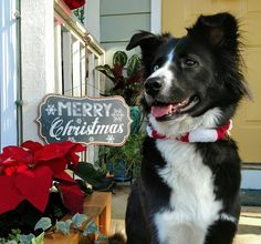 Skyler the border collie wishing everyone a Merry Christmas