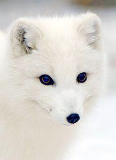 Arctic Fox............. CUTE!