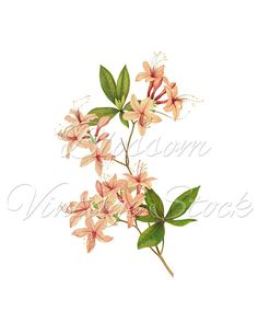 Pink Flowers Clipart, Botanical Pink Flowers PNG Digital Image, Floral Vintage Image for print, digital artwork  INSTANT DOWNLOAD- 1473