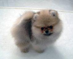Adorable tiny AKC Pomeranian puppy