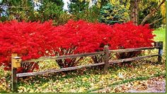 Burning Bush hedging with low fence on the outside. Burning Bush hedging with low fence on the outsi Garden Shrubs, Garden Trees, Landscaping Plants, Front Yard Landscaping, Lawn And Garden, Garden Plants, Garden Bridge, Baumgarten, Gardens