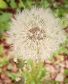 Für mich ist eine Berufung oder ein Seelenauftrag vor allem dadurch gekennzeichnet, dass er auf eine ganz bestimmte Art und Weise die Welt verbessern oder auch verschönern soll. 🙏🏼 Doch nicht nur das. Ein Seelenauftrag hilft auch der Person, die ihn empfängt - zu wachsen, sich selbst näher zu kommen, ein authentischeres Leben zu führen... Dandelion, Instagram, Flowers, Plants, Life, Dandelions, Florals, Planters, Flower