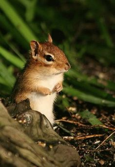 Cute Baby Chipmunk