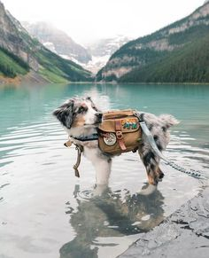 """Campspot on Instagram: """"Customize your camping getaway by browsing 100,000+ sites on Campspot.com - and booking instantly.   📸: @justbeingfarley"""" Aussie Puppies, Cute Puppies, Cute Dogs, Dogs And Puppies, Doggies, Australian Shepherds, Aussie Shepherd, Animals And Pets, Baby Animals"""
