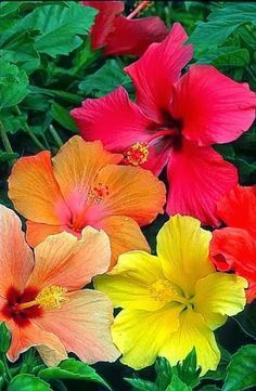 Hibiscus. Can't decide if these, roses, or rose of Sharon are my favorite flower....