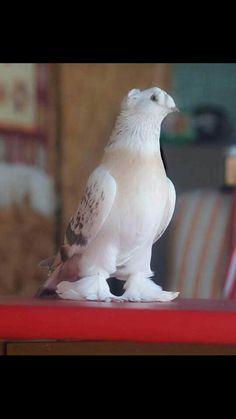 Tumbler Pigeons, Beautiful Birds, Creatures, Cats, Artwork, Birth, Gardening, Animals, Chicano Art