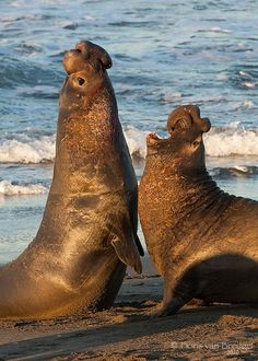 Just up the road from Cambria, Ca. is Elephant Seal Beach  - a must-see for your bucket list.  Amazing animals, beautiful coast.