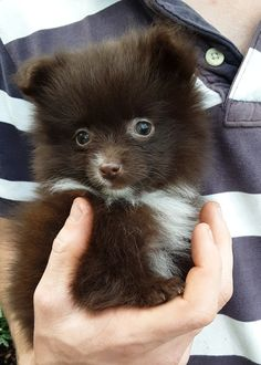 Lancaster Puppies has your perfect Pomeranian here! Browse our selection of little dogs and bring home your Pomeranian puppy today! Toy Pomeranian Puppies, Teddy Bear Pomeranian, Pomeranian Puppy For Sale, Teacup Pomeranian, Puppies For Sale, Toy Dog Breeds, Lancaster Puppies, Animals Dog, Babies Stuff