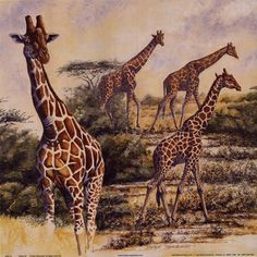 X  Giraffe prints and posters - a mesmerising collection for giraffe fans www.wildlife-pictures-onlin...   IMAGE SEARCH Search BoxSearch ...