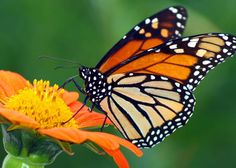 The iconic monarch butterfly is famous the world over for its amazing migration…