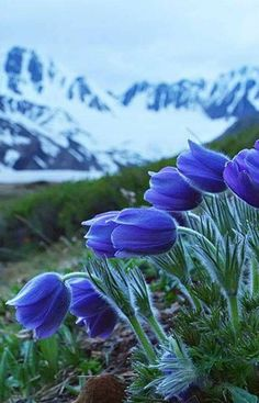 Beautiful Blue Tulips backed with Winter Mountains Blue Tulips, Tulips Flowers, Blue Roses, Pretty Flowers, Wild Flowers, Flower Background Wallpaper, Flower Phone Wallpaper, Flower Backgrounds, Beautiful Flowers Garden