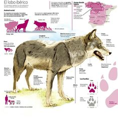 El lobo ibérico - elcorreo.com All About Animals, Animals Of The World, Animals And Pets, Scientific Poster Design, Veterinarian Technician, Fox Dog, Wolf Photos, Prehistoric Animals, Beautiful Dogs