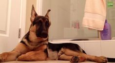 German Shepherd's favorite thing is to sing along with his owner in the bathroom.  I think he's really trying to tell the owner to stop singing!  LOL