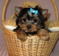 yorkies for sale Yorkie Puppies For Adoption, Toy Yorkie, Cute Puppies, Cute Dogs, Teacup Yorkie For Sale, Yorkies For Sale, Dogs For Sale, Beautiful Dogs, Animals Beautiful