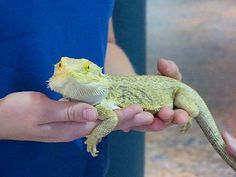 How to Tame a Bearded Dragon