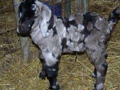 Cutest Boer goat ever!