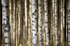 Vlies fotobehang Berkenbomen - Bomen behang | Muurmode.nl